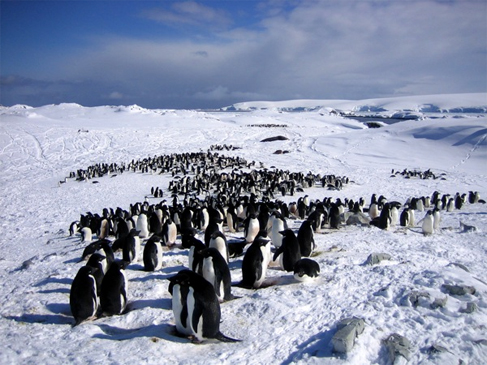 Years ago, it was common to find colonies of Adélie penguins congregating on the ice in Antarctica.  Things are different today.