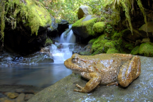 A foothill yellow legged frog is at home both on land and in the rivers and creeks of California.  Credit: Alessandro Catenazzi.