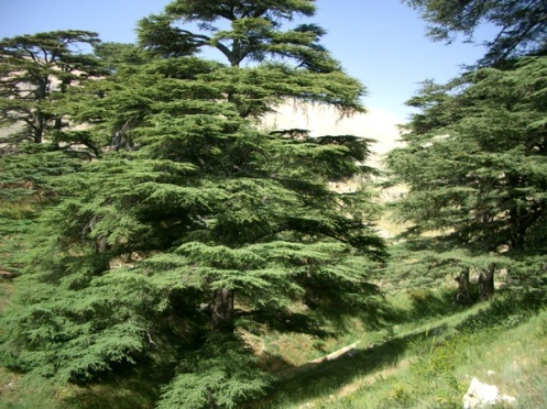 The cedars of Lebanon are a symbol in this part of the world: of strength, and of longevity.