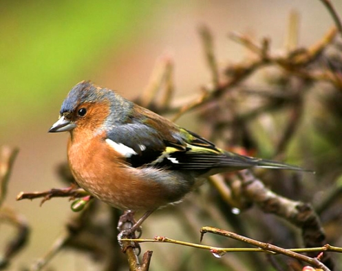 Songbirds - such as this chaffinch - lead a very active vocal life. Credit: snapewood.org.uk.