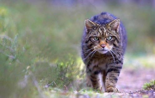 Scottish wildcats used to roam the whole of Great Britain.  Now, fewer than 400 remain in the Highlands. Credit: Peter Cairns.