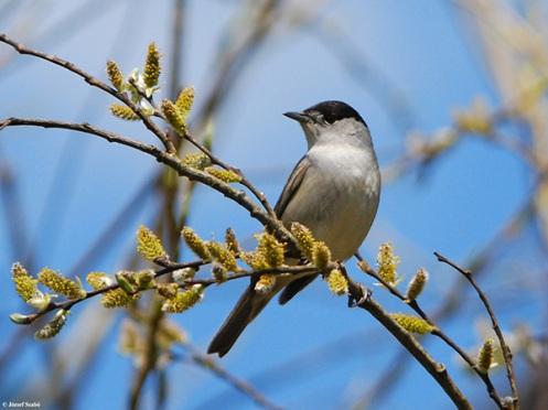 A migrating blackcap songbird. Credit: József Szabó.