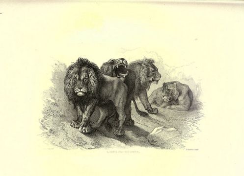 Lions -- among countless other creatures -- prowl about the books and documents of the Biodiversity Heritage Library.