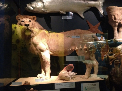 At the Chicago Field Museum, this lion from the Serengeti stands proud.  Credit: Logan Jaffe.