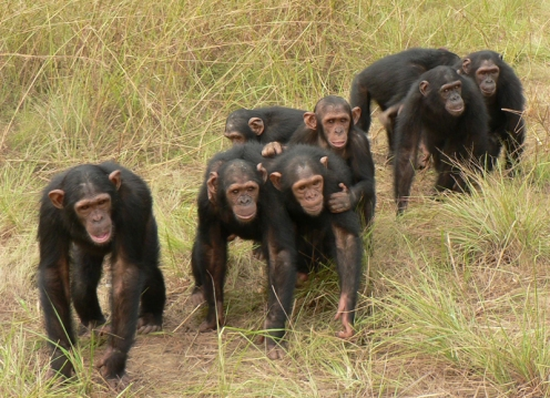 In the Republic of Congo, a group of chimpanzees at the Tchimpounga Chimpanzee Sanctuary return from the forest.  They're headed back to their dormitory for the night. Credit: Victoria Wobber.