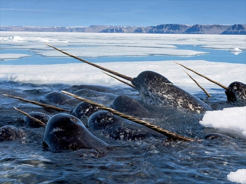 My first serious stint of field work brought me face to tusk with narwhals. Credit: animalstown.com.